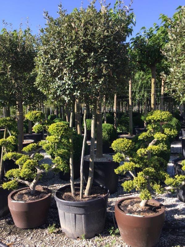 Steeneik meerstammig (Quercus ilex)-Plant in pot-150/175 meerstammig