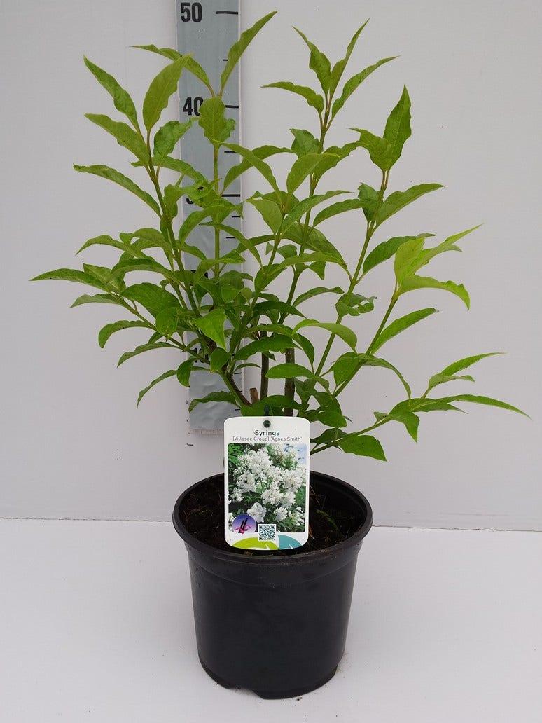 Canadese sering (Syringa josiflexa 'Agnes Smith') -Plant in pot-C3. Kleur: wit