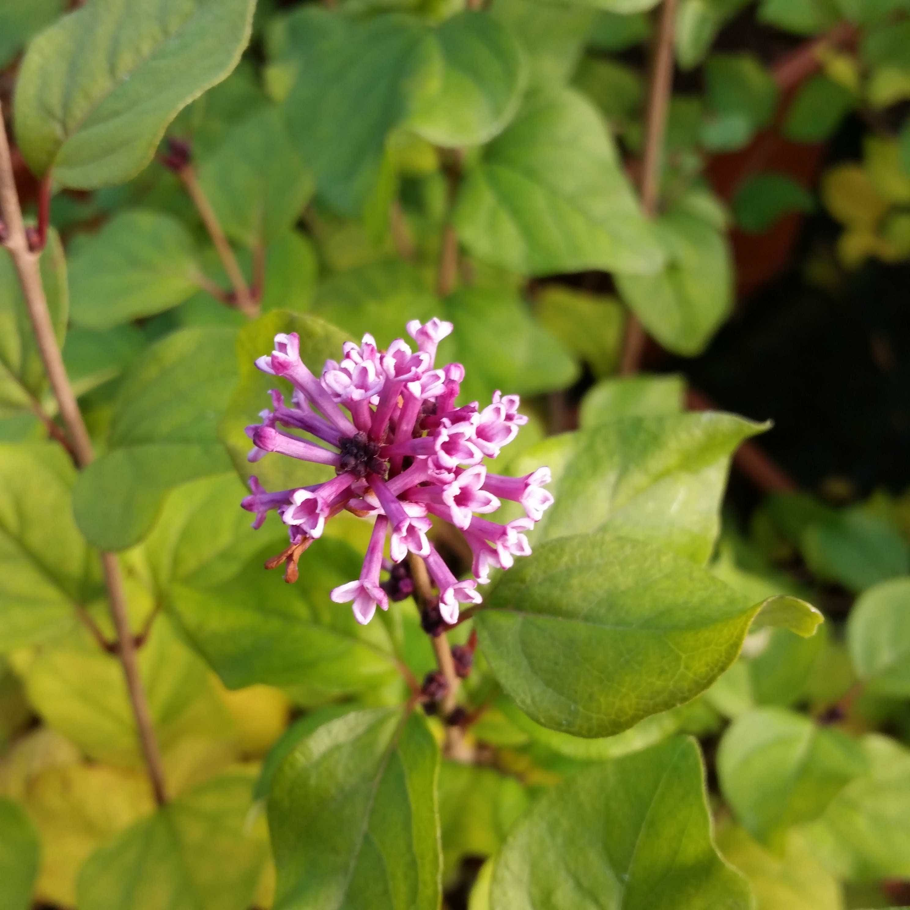 Dwergsering (Syringa 'Flowerfest Pink') 30/40 cm. Kleur: roze