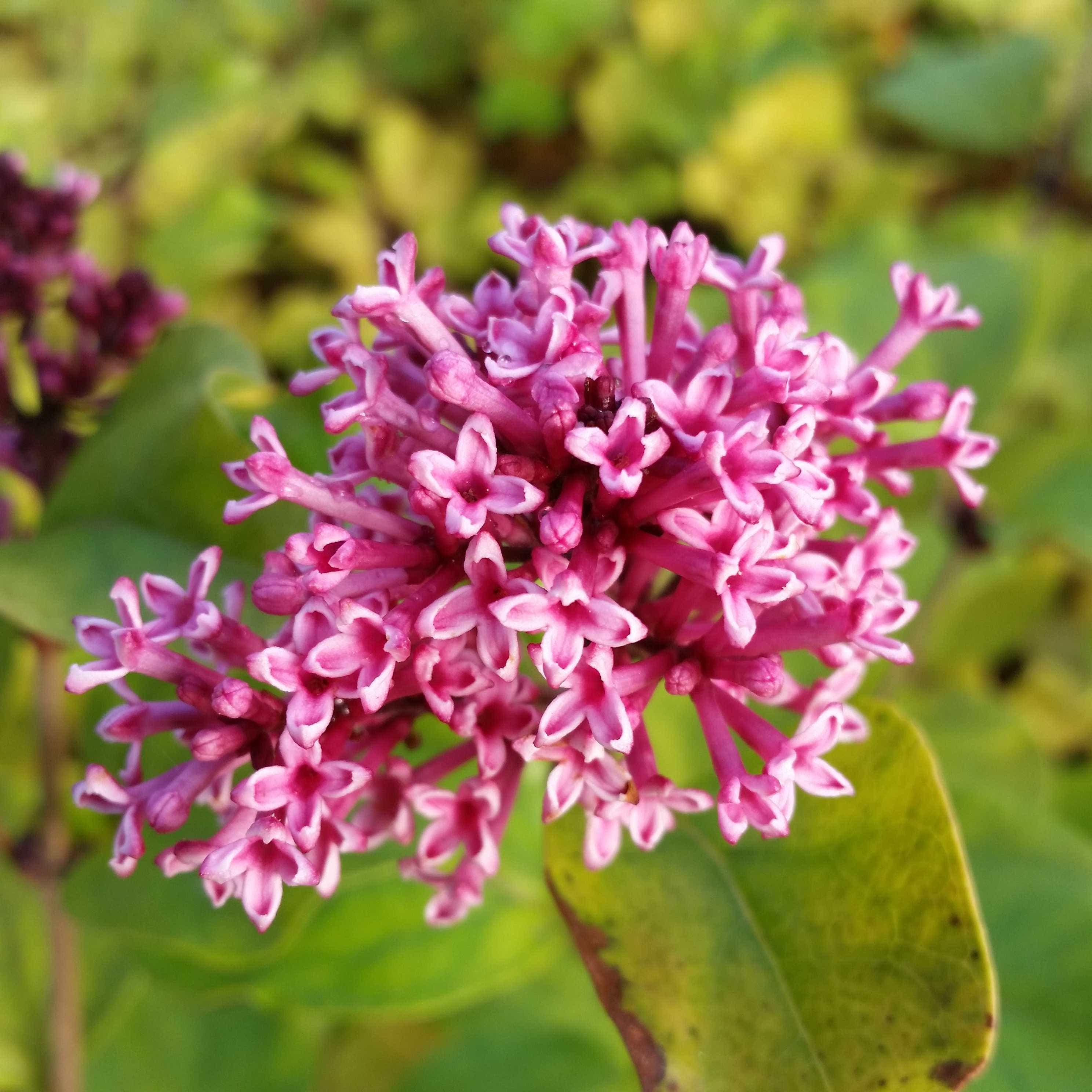 Dwergsering (Syringa 'Flowerfest Violet') 30/40 cm