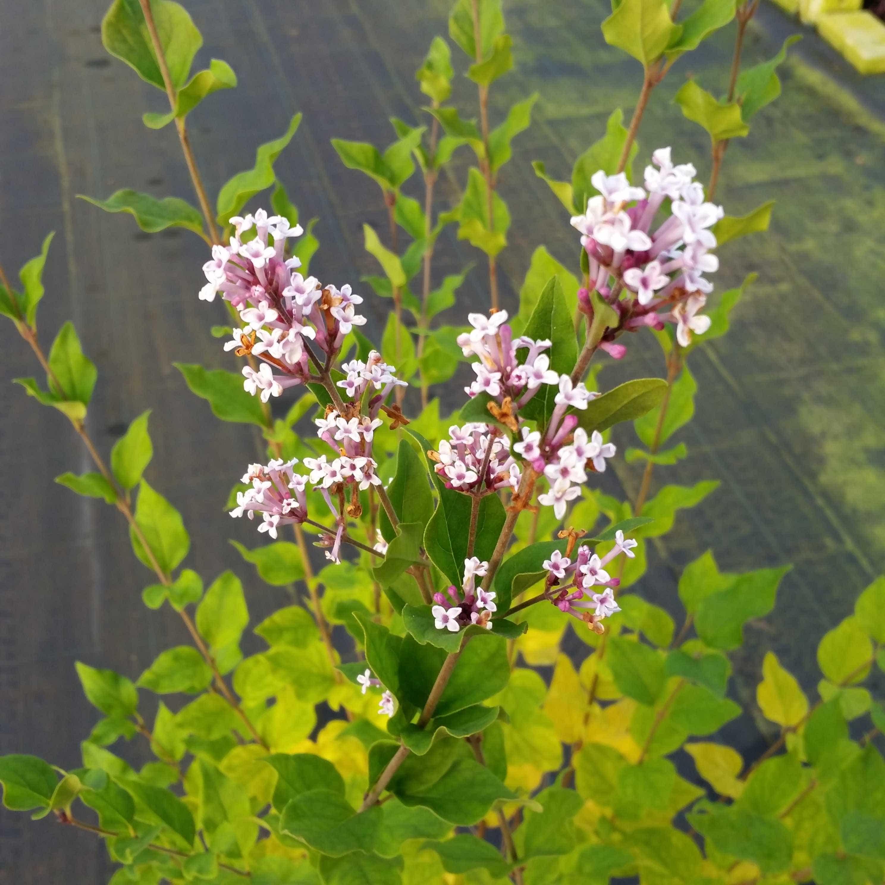 Dwergsering (Syringa 'Flowerfest White') 30/40 cm