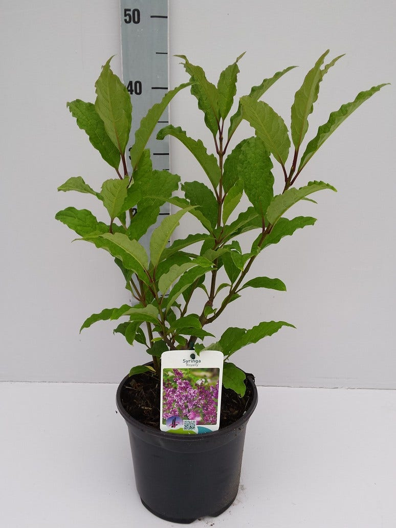 Dwergsering (Syringa prest. 'Royalty')-Plant in pot-C5