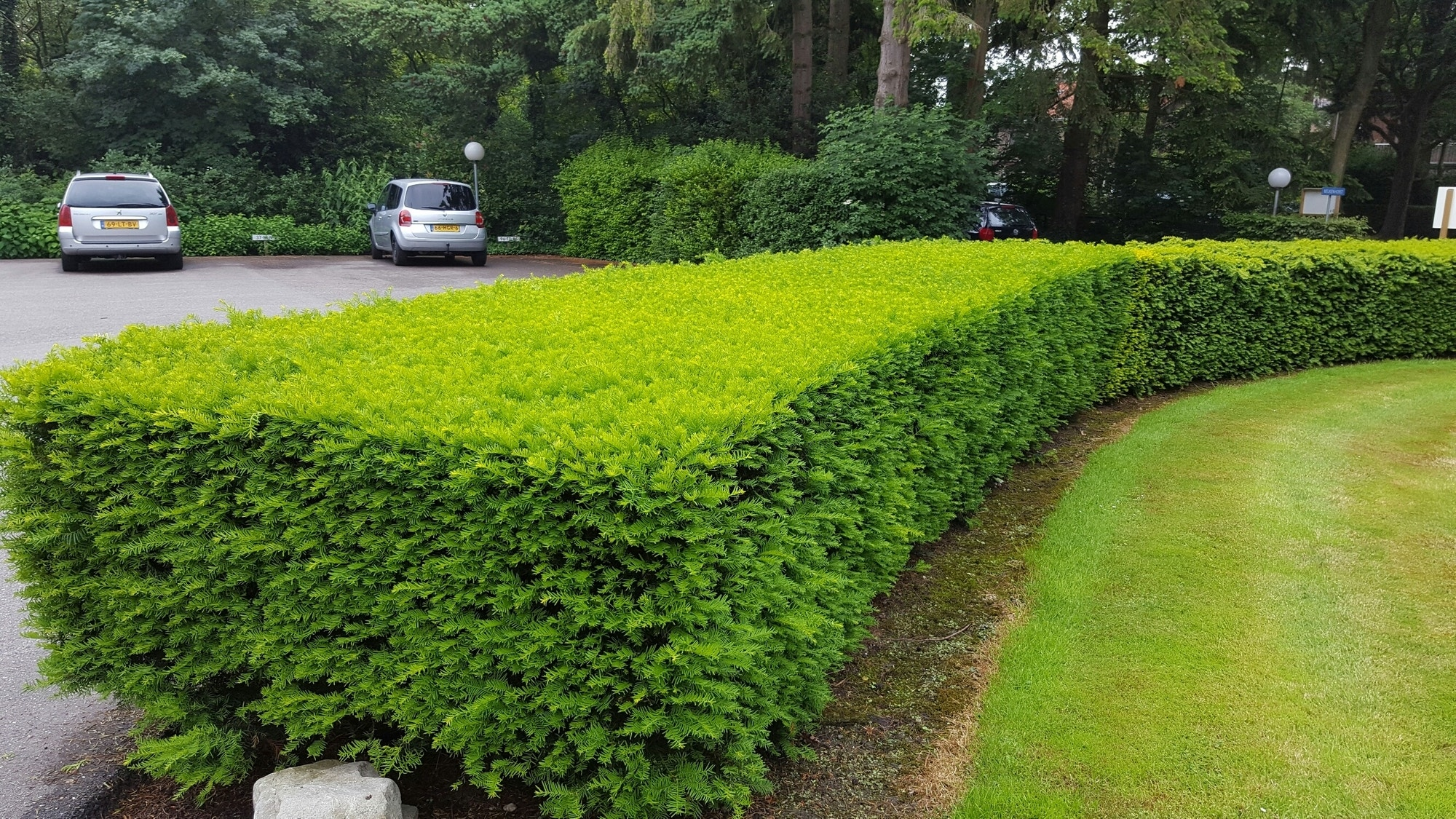Taxushaag (Taxus baccata)-Plant uit volle grond-20/40 cm