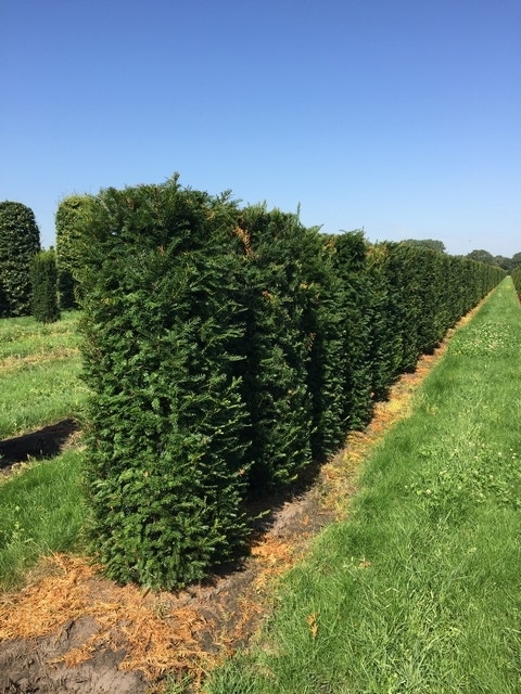 Taxus als Haagelement (Taxus baccata)-Plant uit volle grond-175 x 50 x 50 cm