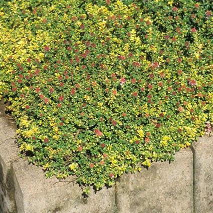Tijm (Thymus 'Doone Valley')-Plant in pot-C1,5. Kleur: roze