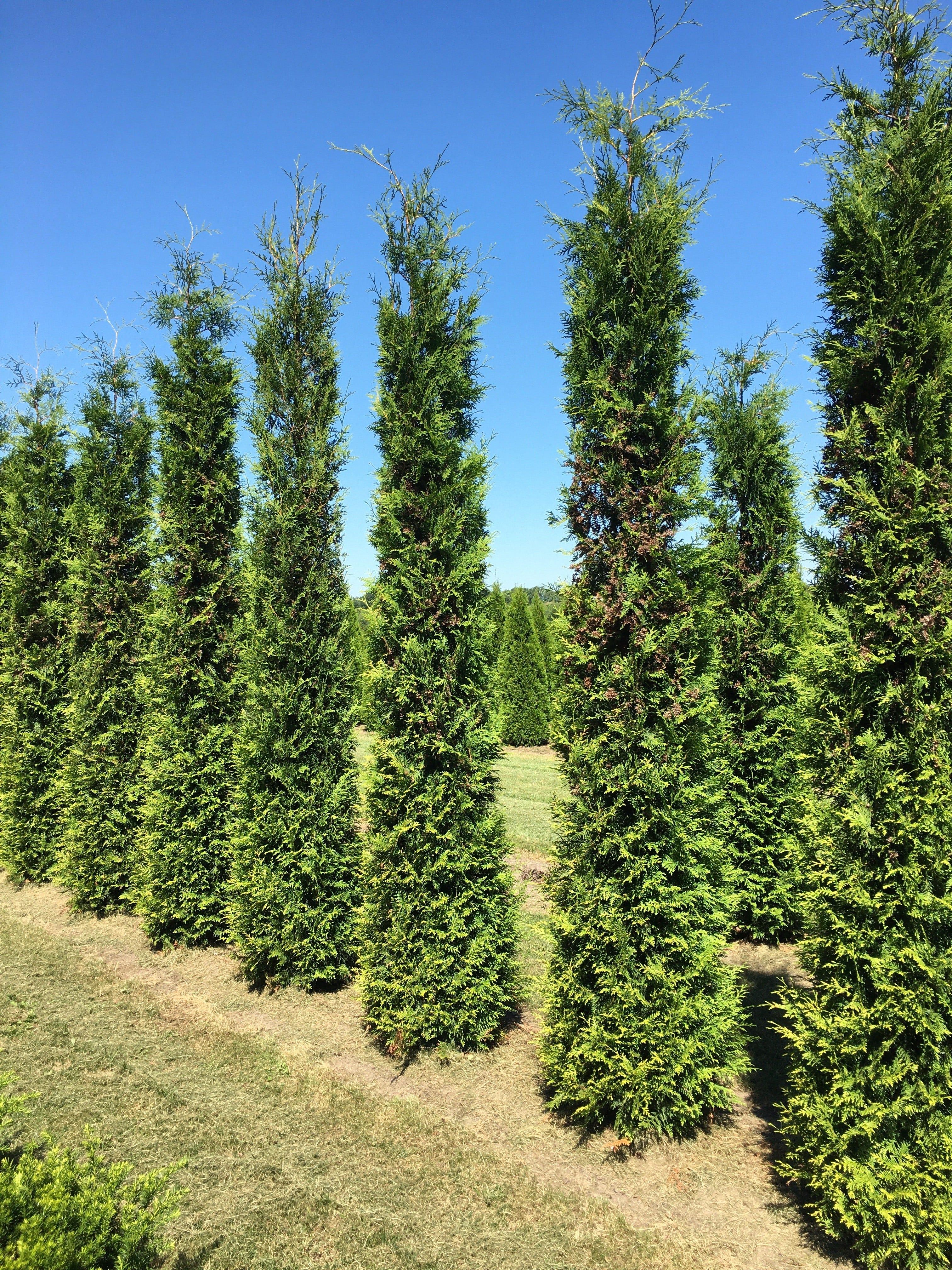 Grote groene haagconifeer (Thuja occidentalis 'Brabant') - 350/400 cm