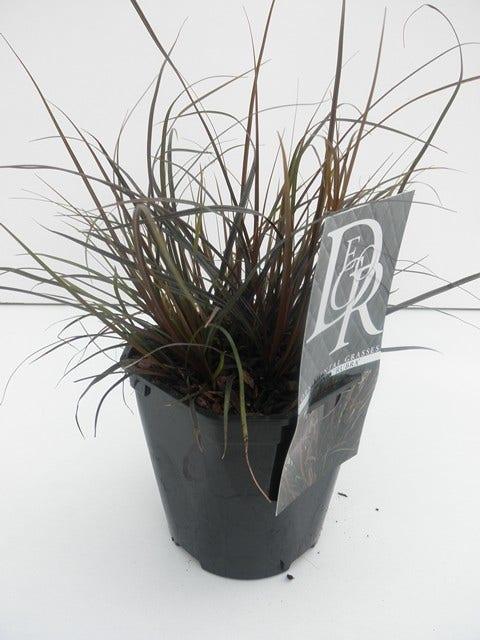 Mahoniegras (Uncinea 'Rubra')-Plant in pot-C2