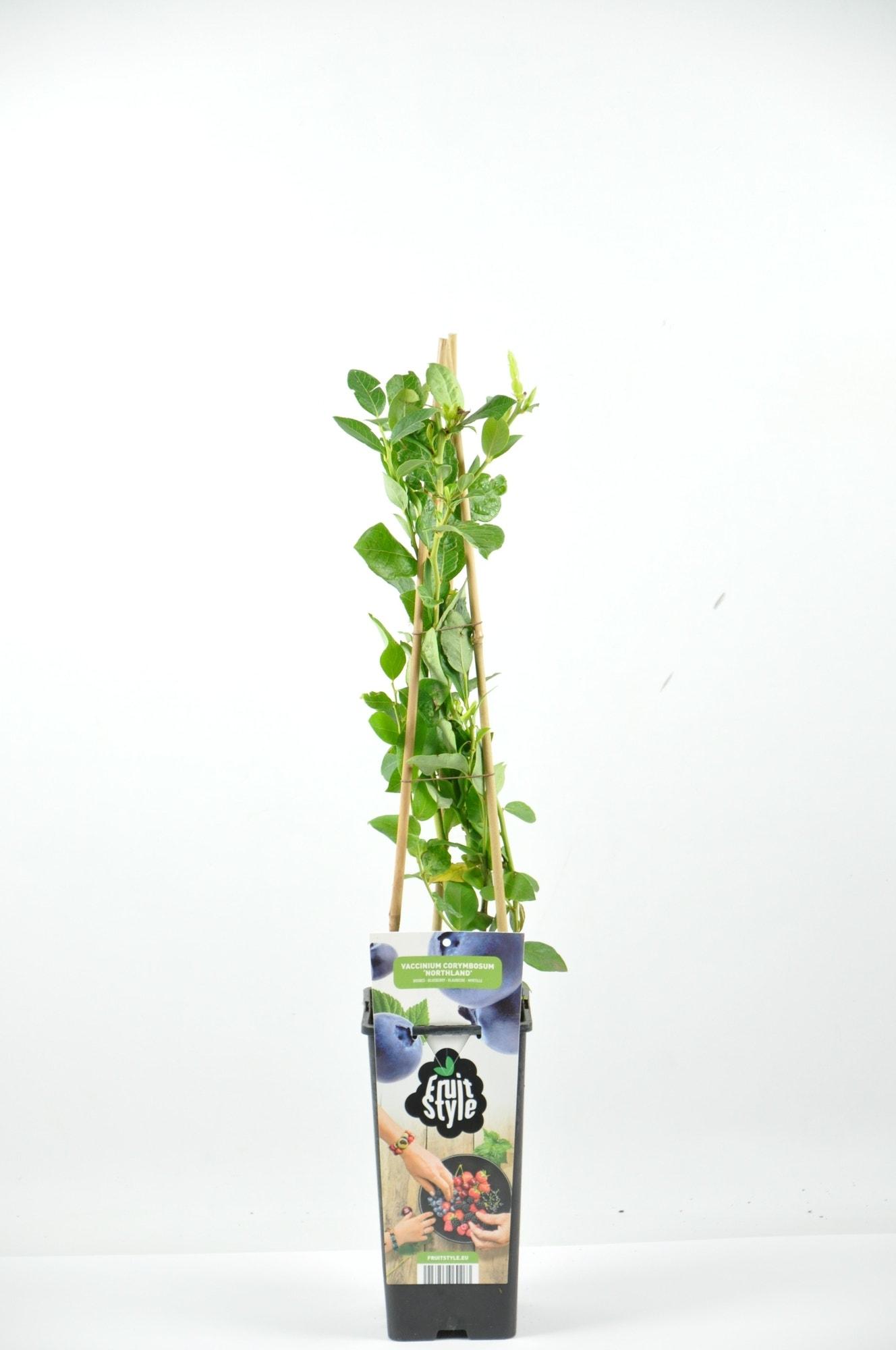 Bosbes (Vaccinium corymbosum 'Northland') -Plant in pot-40/50 cm. Kleur: wit