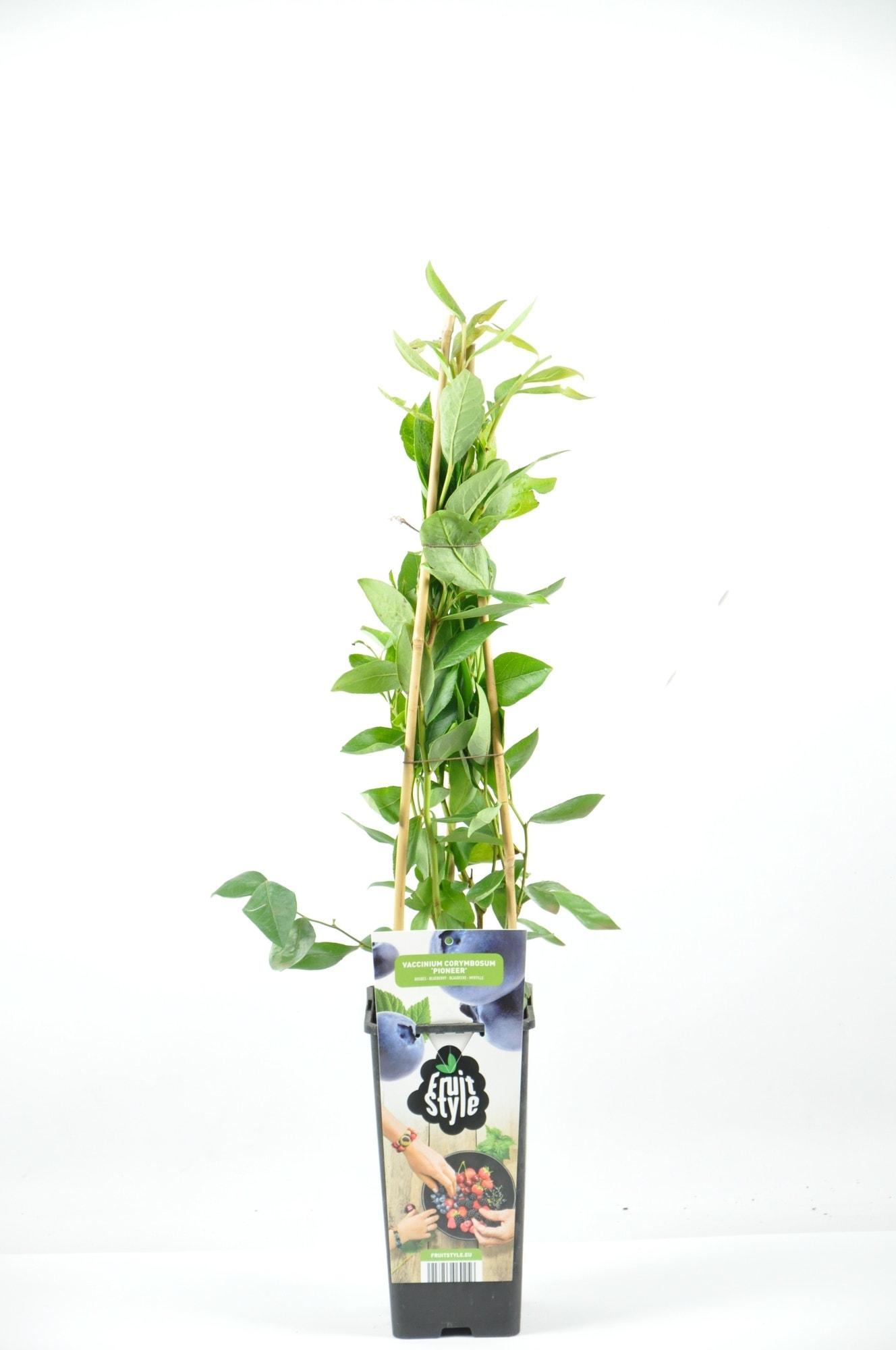Bosbes (Vaccinium corymbosum 'Pioneer') -Plant in pot-40/50 cm. Kleur: wit