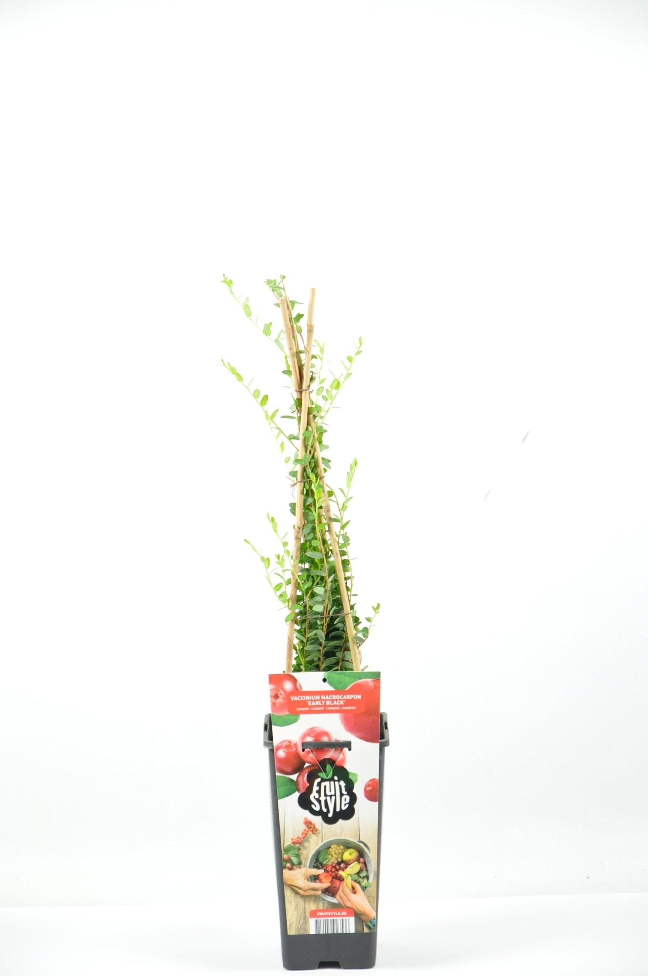 Cranberry (Vaccinium Macrorampom 'Early Black')-Plant in pot-40/50 cm. Kleur: wit