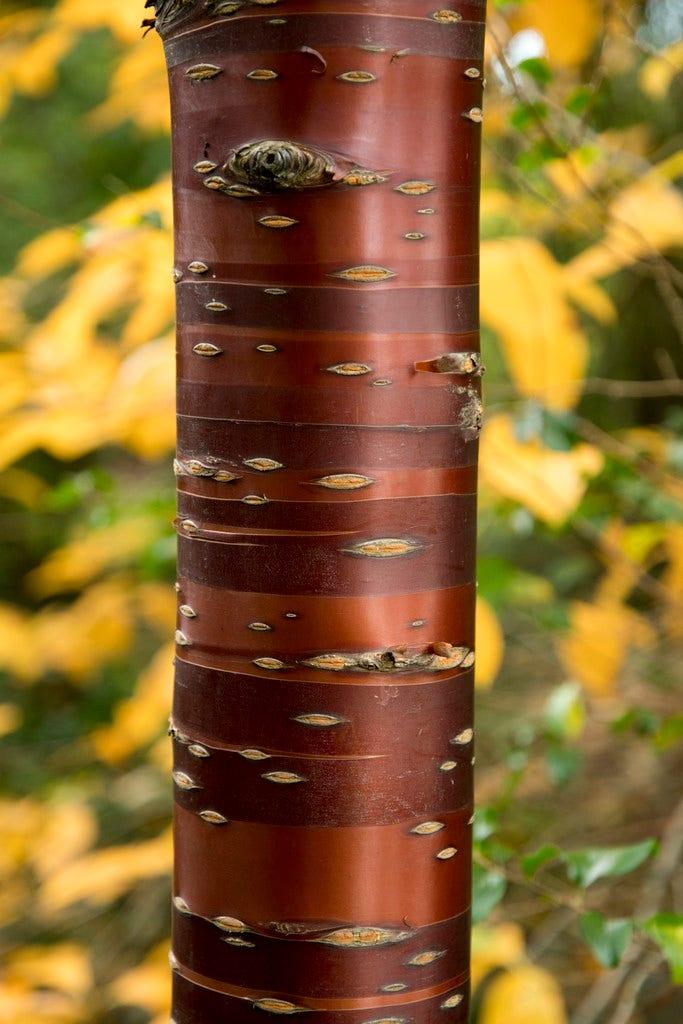 Tibetaanse sierkers (Prunus serrula)-8/10 cm-Plant uit volle grond. Kleur: wit