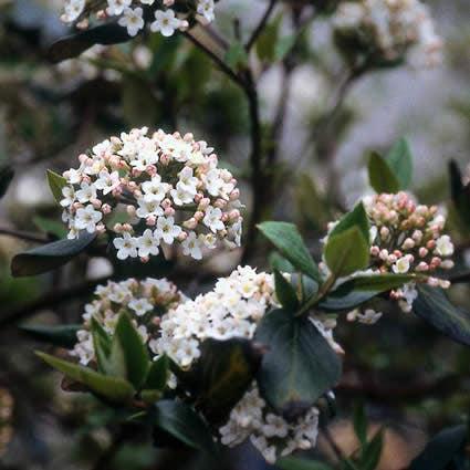 Sneeuwbal (Viburnum burkwoodii) - 40/60 cm.. Kleur: wit