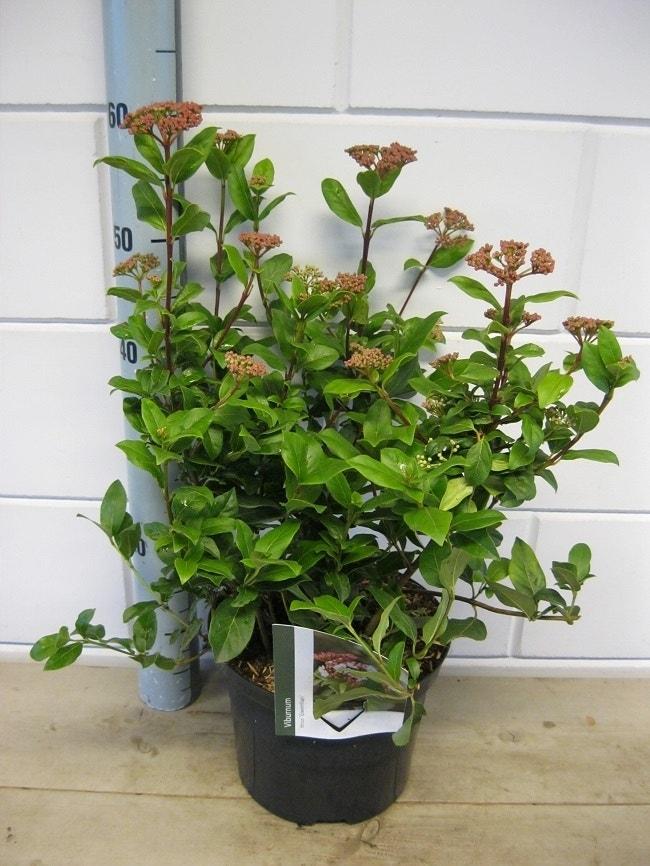 Sneeuwbal (Viburnum tinus 'Gwenlian')-Plant in pot-50/60 cm. Kleur: wit