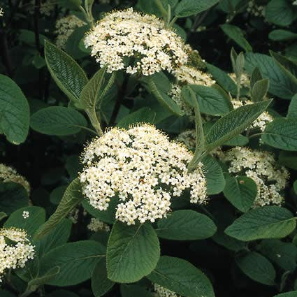 Sneeuwbal (Viburnum lantana)-Plant uit volle grond-60/100 cm. Kleur: wit