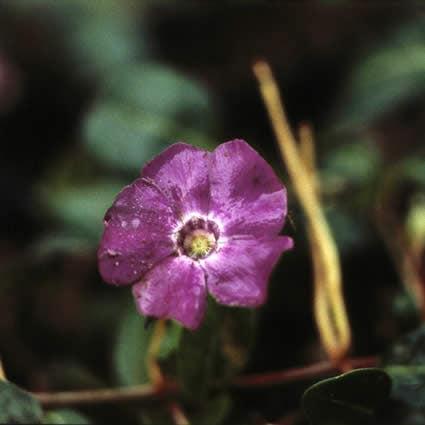 Maagdenpalm (Vinca minor 'Atropurpurea') - P9. Kleur: paars