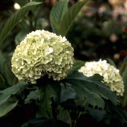 Sneeuwbal (Viburnum opulus 'Roseum') - 50/60 cm.. Kleur: wit