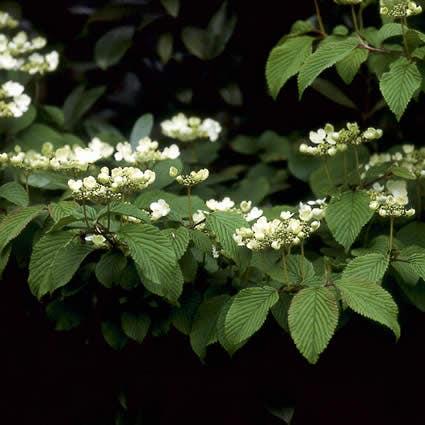 Sneeuwbal (Viburnum plicatum 'Mariesii')-Plant in pot-50/60 cm. Kleur: wit