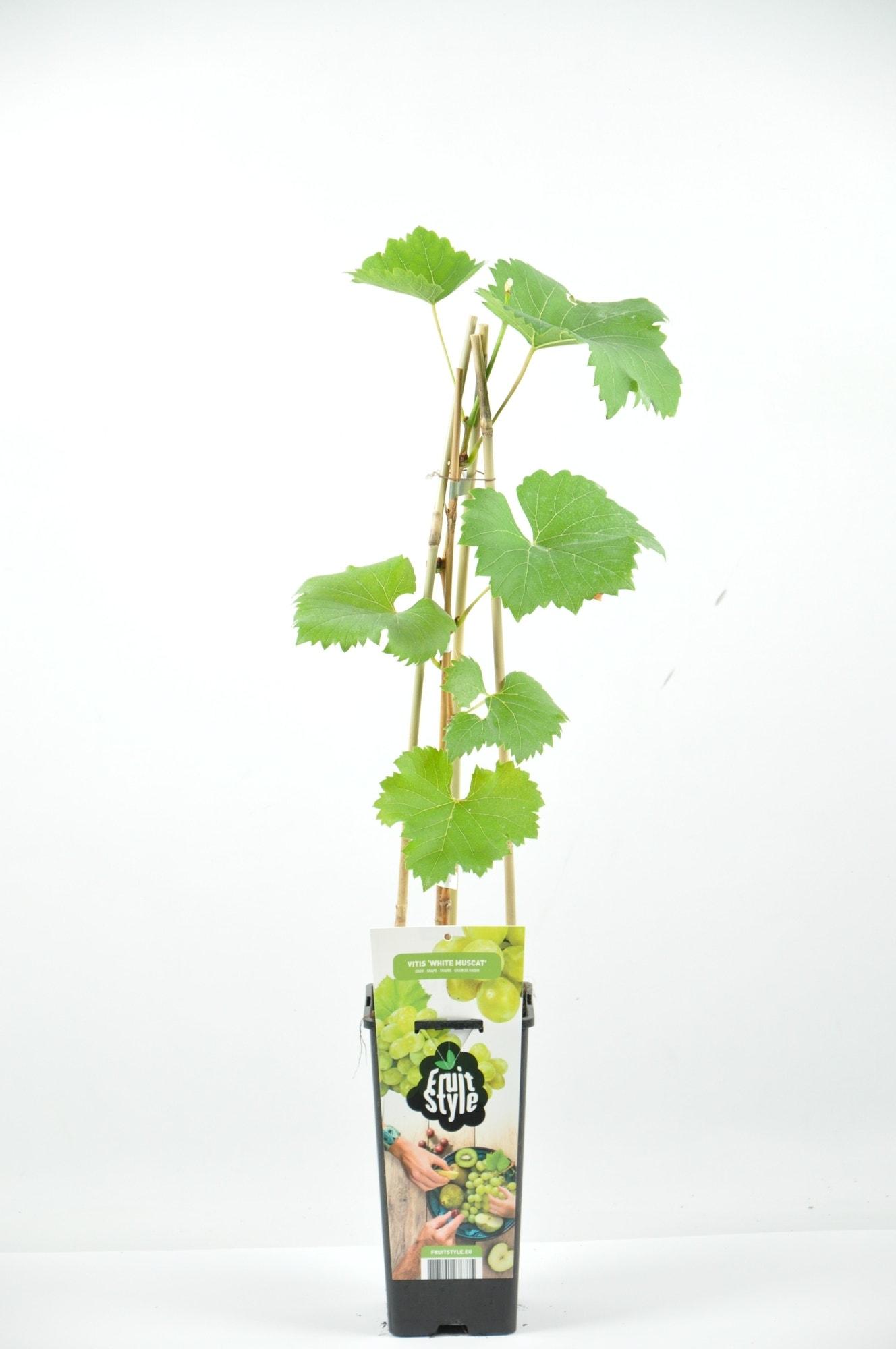 Witte druif (Vitis 'White Muscat')-Plant in pot 50/60 cm. Kleur: wit
