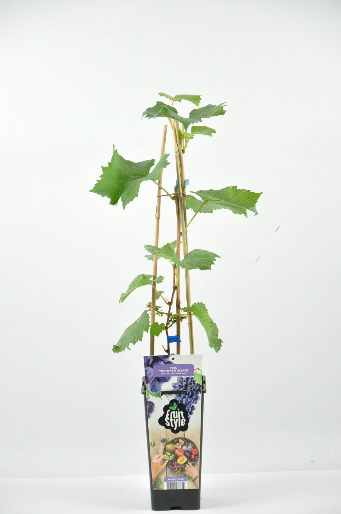 Blauwe druif (Vitis 'Triomph d'Alsace')-Plant in pot-40/50 cm. Kleur: wit