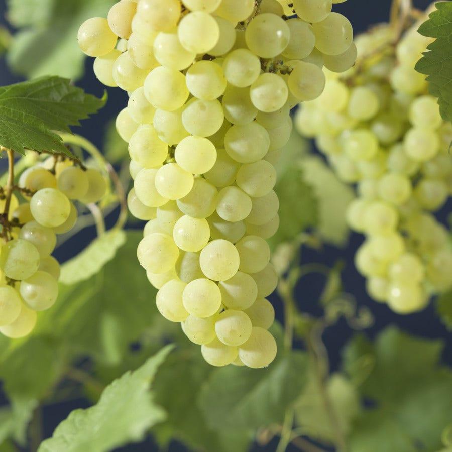 Witte Druif (Vitis 'Vroege van der Laan') 60/80 cm. Kleur: wit
