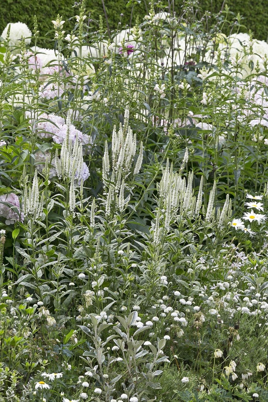 Borderpakket Witte bloemen voor een kleine tuin-Plant in pot-Per 2 m². Kleur: wit