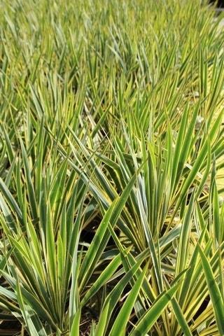 Palmlelie (Yucca filamentosa 'Bright Edge' )-Plant in pot-C2,5. Kleur: wit