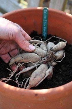Dahlia planten