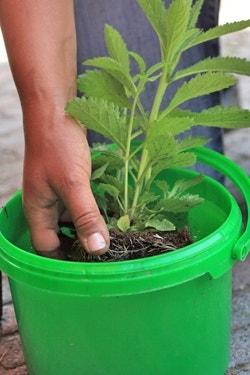 Planten dompelen