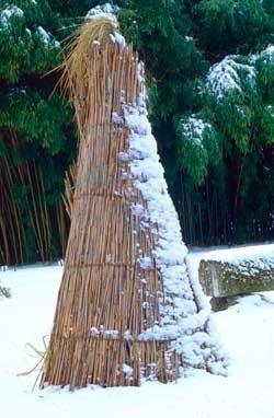 Pampasgras in de winter