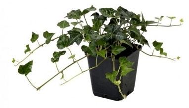 Klimop in pot planten