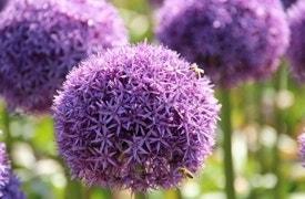 Voorjaarsbollen - Allium