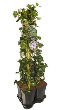 Klimop planten - Hedera Clematis mix Hagley Hybrid