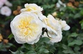 Witte trosroos 'Lady Romantica'