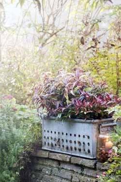 Winterplanten_Leucothoe